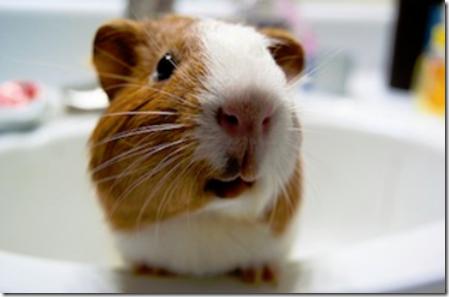 Are you a Guinea Pig?